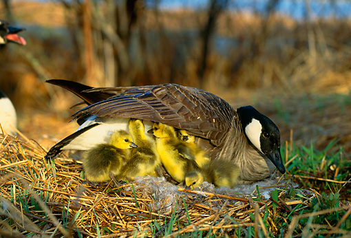 BRD 20 DB0001 01 © Kimball Stock Canada Goose On Nest With Newly Hatched Goslings