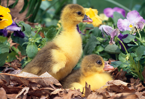 BRD 20 LS0001 01 © Kimball Stock Two Goslings Huddling In Fallen Leaves By Flowers