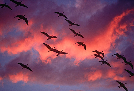 BRD 20 RK0008 03 © Kimball Stock A Flock Of Geese In Flight Pink Clouds