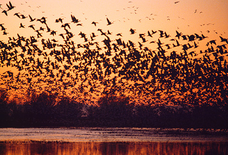 BRD 20 RK0012 01 © Kimball Stock A Flock Of Geese In Flight By Water At Sunset