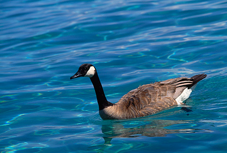 BRD 20 RK0025 10 © Kimball Stock Geese Swimming In Lake Tahoe