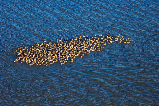 BRD 20 SK0001 01 © Kimball Stock Flock Of Greater White-Fronted Geese Swimming Off Alaskan Coast Summer
