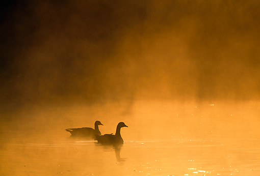 BRD 20 TK0002 01 © Kimball Stock Silhouette Of Canada Geese Paddling On Misty Lake At Sunset
