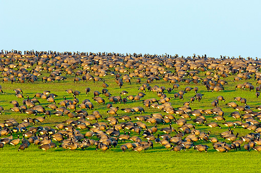 BRD 20 TL0001 01 © Kimball Stock Flock Of Canada Geese Grazing On Grass Hill
