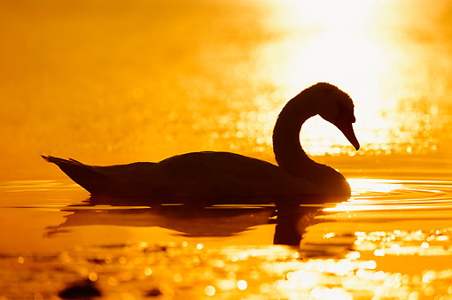 BRD 21 AC0013 01 © Kimball Stock Mute Swan Swimming At Sunrise In North Rhine-Westphalia, Germany