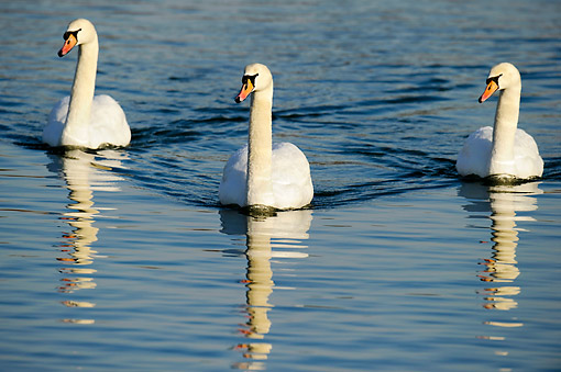 BRD 21 AC0014 01 © Kimball Stock Mute Swans Swimming