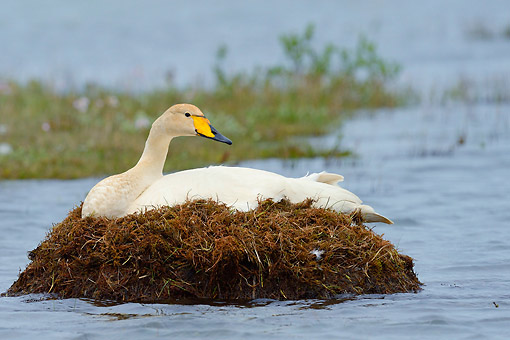 BRD 21 AC0015 01 © Kimball Stock Whooper Swan Hatching In Nest, Iceland