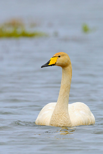 BRD 21 AC0016 01 © Kimball Stock Whooper Swan Swimming In Breeding Territory, Iceland