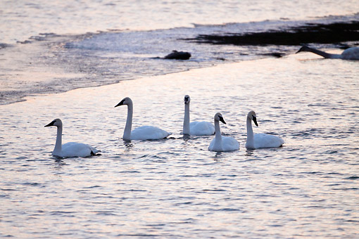 BRD 21 DA0001 01 © Kimball Stock Five Trumpeter Swans Wading In River At Sunrise, Missouri