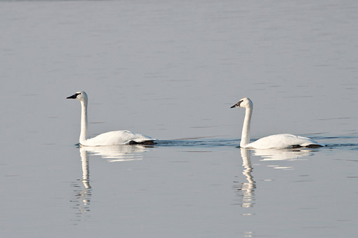 BRD 21 DA0002 01 © Kimball Stock Two Trumpeter Swans Wading In River, Missouri