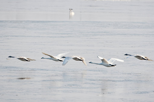 BRD 21 DA0003 01 © Kimball Stock Five Trumpeter Swans In Flight Over River, Missouri