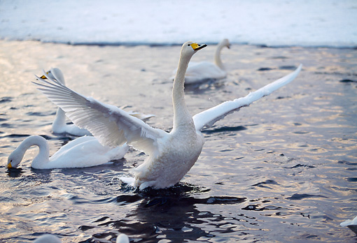 BRD 21 GL0001 01 © Kimball Stock Whooper Swan Flapping Wings On Surface Of Water