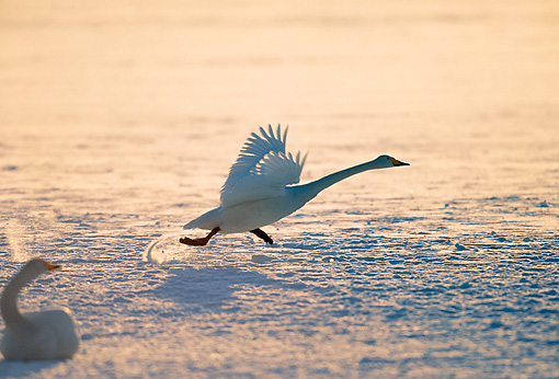 BRD 21 GL0002 01 © Kimball Stock Whooper Swan Taking Off From Water At Dusk Japan