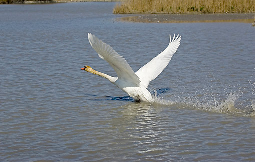 BRD 21 GL0004 01 © Kimball Stock Mute Swan Taking Off From Water In Camargue, France