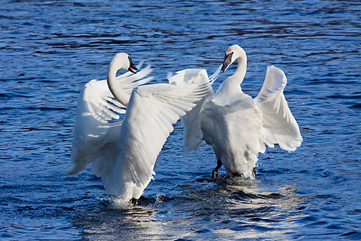 BRD 21 LS0002 01 © Kimball Stock Two Trumpeter Swans Beating Wings In Courting Behavior In Water