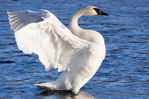BRD 21 LS0003 01 © Kimball Stock Trumpeter Swan Stretching In Shallow Water