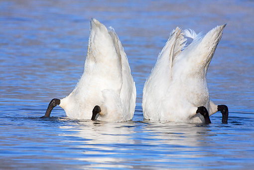 BRD 21 LS0004 01 © Kimball Stock Two Trumpeter Swans Bobbing Underwater To Feed