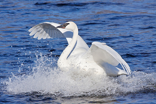 BRD 21 LS0005 01 © Kimball Stock Trumpeter Swan Landing On Surface Of Water