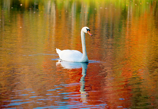 BRD 21 LS0006 01 © Kimball Stock Mute Swan Swimming In Water Reflecting Autumn Trees, Connecticut