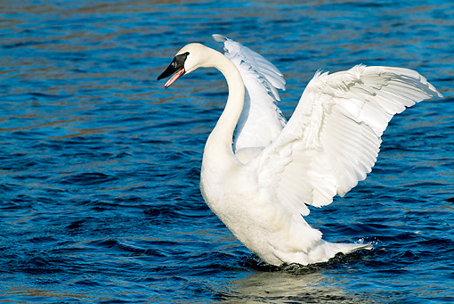 BRD 21 LS0007 01 © Kimball Stock Trumpeter Swan Stretching Wings On Mississippi River, Minnesota