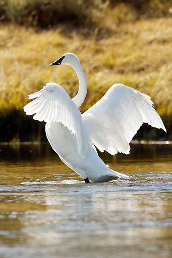 BRD 21 MC0001 01 © Kimball Stock Trumpeter Swan Preening And Flapping Wings In River Yellowstone National Park