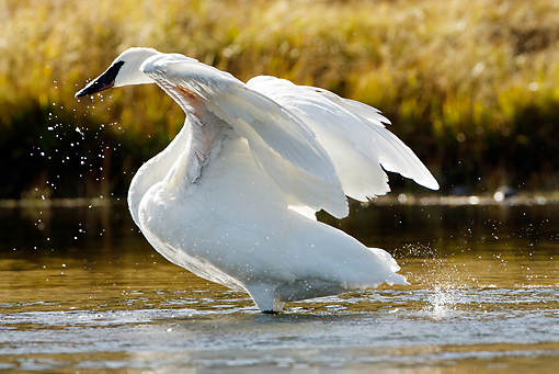 BRD 21 MC0002 01 © Kimball Stock Trumpeter Swan Preening And Flapping Wings In River Yellowstone National Park