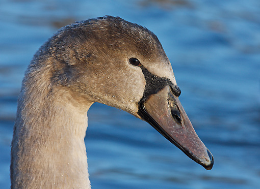BRD 21 WF0001 01 © Kimball Stock Head Shot Of Young Mute Swan By Water
