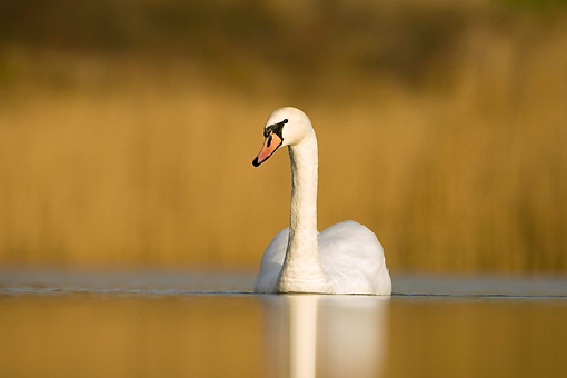 BRD 21 WF0003 01 © Kimball Stock Portrait Of Mute Swan On Pond In Winter