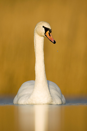 BRD 21 WF0004 01 © Kimball Stock Portrait Of Mute Swan On Pond In Winter