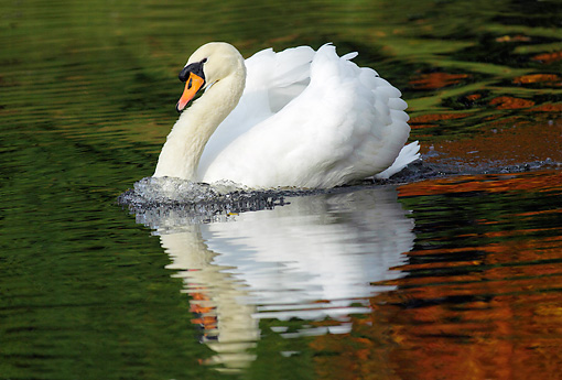 BRD 21 WF0005 01 © Kimball Stock Mute Swan Swimming In Lake With Reflection Of Autumn Leaves