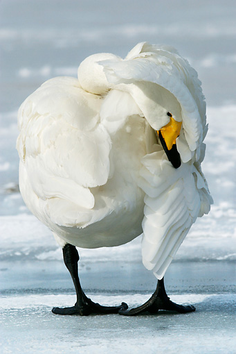 BRD 21 KH0001 01 © Kimball Stock Whooper Swan Standing On Ice With Head Underneath Wing