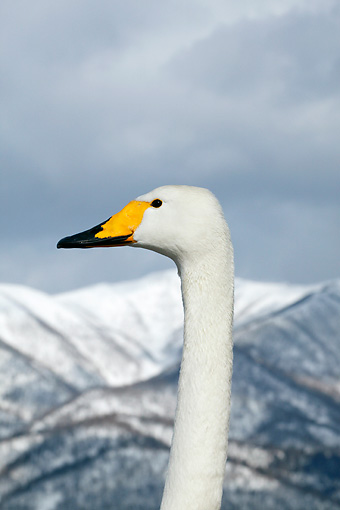 BRD 21 KH0002 01 © Kimball Stock Whooper Swan Head Shot