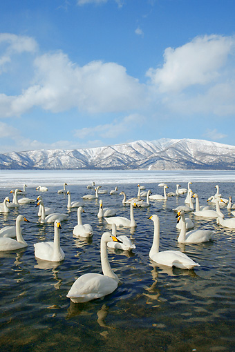 BRD 21 KH0004 01 © Kimball Stock Flock Of Whooper Swans In Water By Mountains