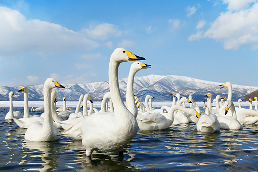 BRD 21 KH0005 01 © Kimball Stock Flock Of Whooper Swans In Water By Mountains