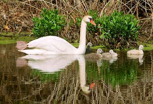 BRD 21 LS0001 01 © Kimball Stock Mute Swan Mother Swimming Along Reeds With Four Cygnets
