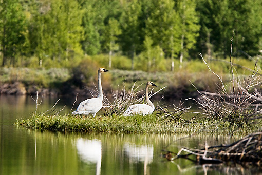 BRD 21 TL0001 01 © Kimball Stock Two Trumpeter Swans Resting On Isand In Lake