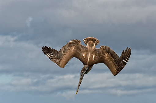 BRD 22 AC0013 01 © Kimball Stock Galapagos Brown Pelican Flying, Galapagos Islands, Ecuador