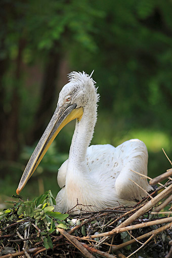 BRD 22 AC0015 01 © Kimball Stock Dalmatian Pelican Sitting On Nest