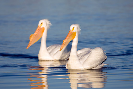 BRD 22 DA0001 01 © Kimball Stock Two American White Pelicans Wading In River, Missouri