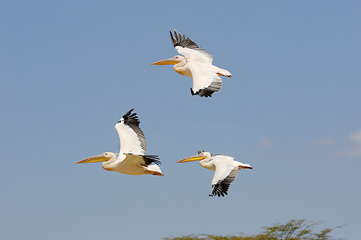 BRD 22 GL0001 01 © Kimball Stock Great White Pelicans Flying Over Lake Nakuru, Kenya