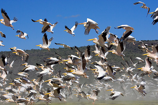BRD 22 GL0002 01 © Kimball Stock Flock Of Great White Pelicans Taking Off At Lake Nakuru, Kenya