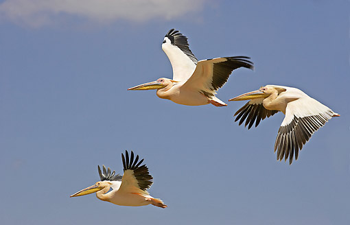 BRD 22 GL0003 01 © Kimball Stock Great White Pelicans Flying At Nakuru Lake In Kenya