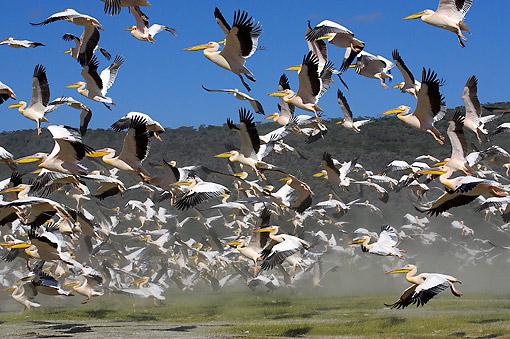 BRD 22 GL0004 01 © Kimball Stock Great White Pelicans Flying At Nakuru Lake In Kenya