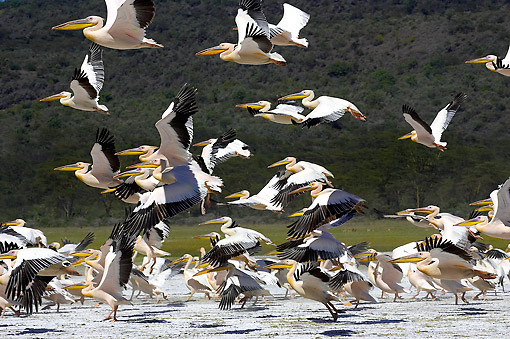 BRD 22 GL0005 01 © Kimball Stock Great White Pelicans Flying At Nakuru Lake In Kenya