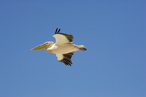 BRD 22 GL0006 01 © Kimball Stock Great White Pelican Flying At Nakuru Lake In Kenya