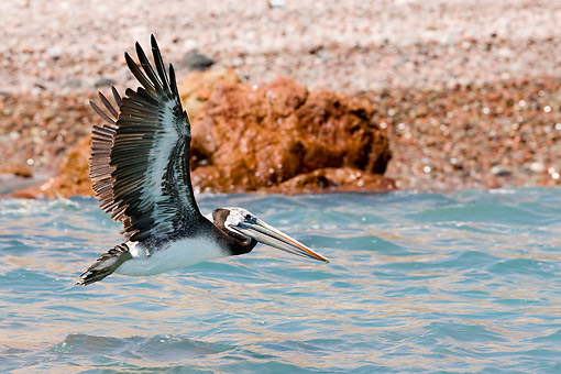 BRD 22 GL0007 01 © Kimball Stock Peruvian Pelican Flying Over Water In Peru