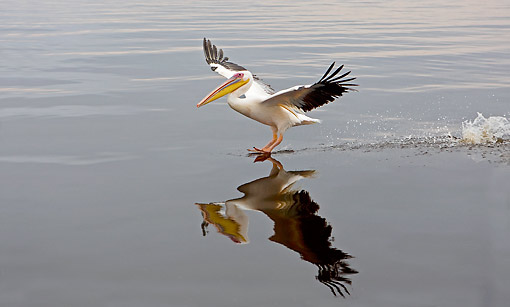 BRD 22 GL0008 01 © Kimball Stock Great White Pelican Landing In Water In Namibia