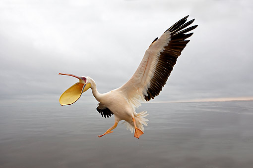 BRD 22 GL0009 01 © Kimball Stock Great White Pelican Flying With Beak Open Above Water In Namibia