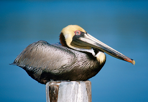 BRD 22 GR0001 01 © Kimball Stock Brown Pelican Resting On Wooden Post