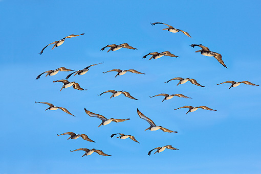 BRD 22 JE0001 01 © Kimball Stock Flock Of Pelicans Flying In Blue Sky South America
